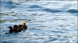 Bob, our resident sea otter